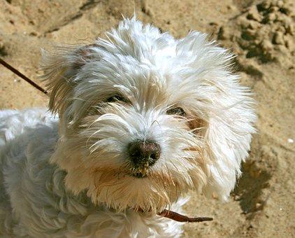 Dog, Poodle, Shaggy, Animals, Animal Portrait