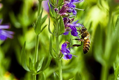 Bee, Hyssop, Flower, Purple, Green Bee