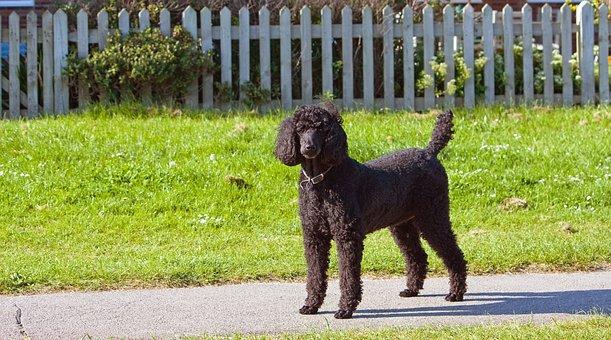 Standard Poodle, Poodle, Black, Dog, Canine, Pet