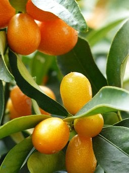 Kumquats, Tree, Branch, Leaves, Fruits, Fruit