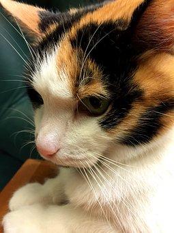 Calico, Cat, Feline, Kitten, Kitty, Profile, Orange