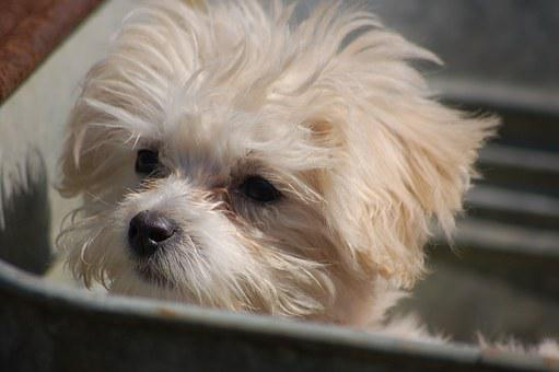 Puppy, Animal, Dog, Canine, Cute, Pet, Domestic, White