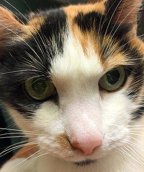 Kitty, Kitten, Cat, Feline, Calico, Fur, Animal, Pet