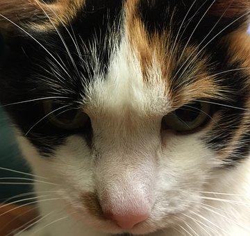 Calico, Cat, Kitten, Kitty, Feline, Stare, Pink, Nose