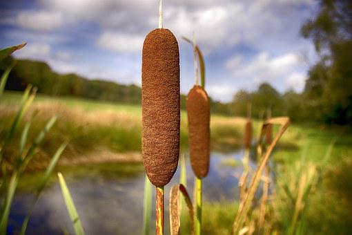 Cattail, Loosestrife, Stink Cigar, Stream Valley