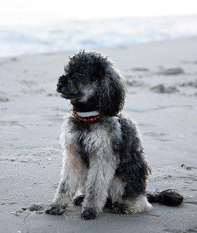 Beach, Sea, Water, Wet, Dog, Poodle, Miniature Poodle