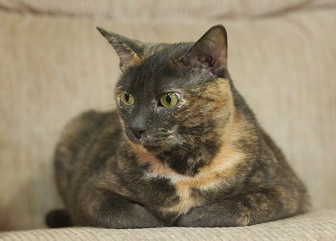 Cat, Feline, Dilute Calico, Domestic, Portrait, Young
