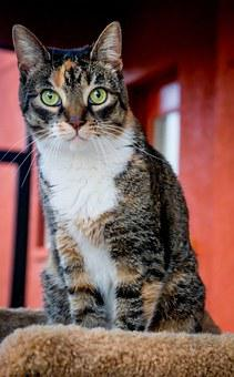 Cat, Dilute Calico, Pet, Green Eyes, Kitty, Tricolor