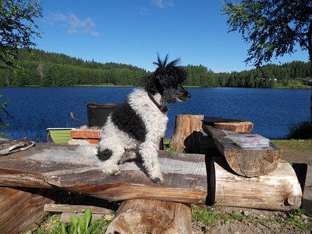 Dog, Harlequin Poodle, Lake, Summer, Myhinkoski