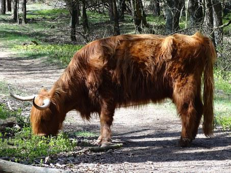 Scottish Highlander, Highlander, Beef, Nature, Cows