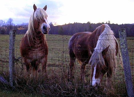 Horses, Belgian Horses, Two Horses, Brown, Tan
