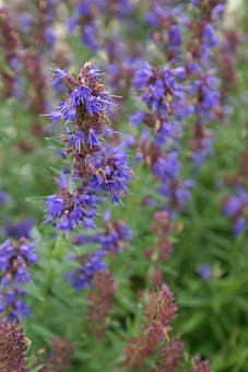Hyssop, Plant, Flower, Blossom, Bloom, Blue