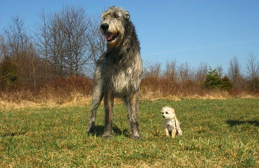 Irish Wolfhound, Chihuahua Poodle Mix, Dogs, Canines