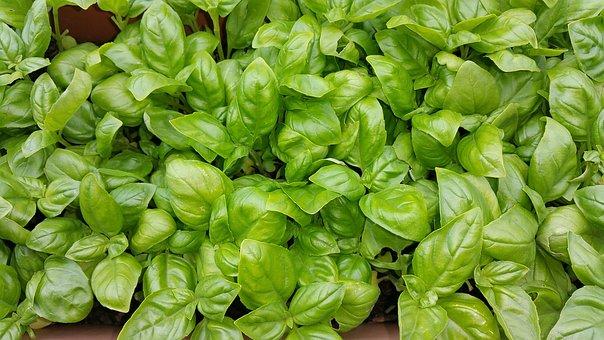 Basil, Green, Summer, Cook, Plant, Italian