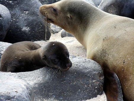 Pup, Mother, Sea, Lion, Baby, Bond, Galapagos, Islands