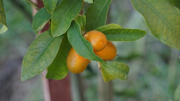 Kumquats, Cumquats, Orange Gnathostoma Spinigerum