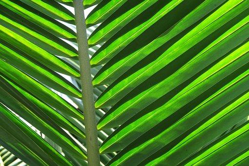 Palm, Leaf, Palm Leaves, Foliage, Caribbean, Coconut