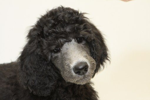 Puppy, Standard Poodle, Dog