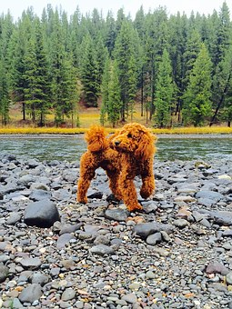 Puppy, Poodle, Goldendoodle, Cute Dog, Outdoor