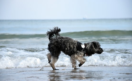 Water, Beach, Dog, Wave, Poodle, Miniature Poodle, Sea