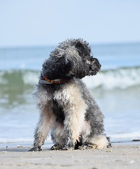Poodle, Dog, Miniature Poodle, Beach, Water, Sea, Wave
