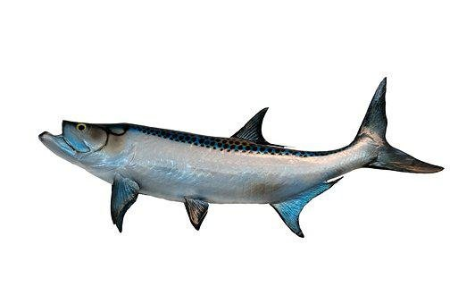 Tarpon, Fish, Mounted, Taxidermy, Isolated, Background