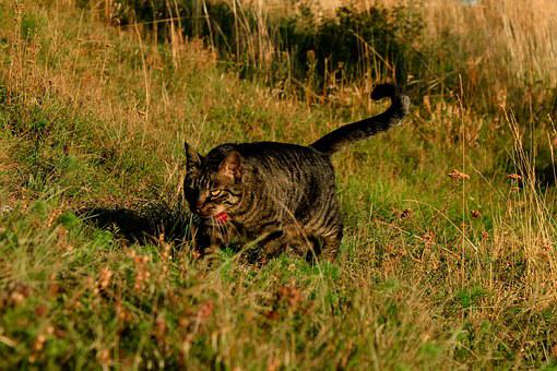 Cat, Hunting, Feline, Animal, Walks, Nature