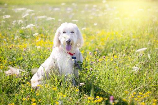Dog, Poodle, Pet, White, Outdoor, Wildflowers, Yellow