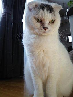Blister, Scottish Fold, Cat, Pet, White Fur