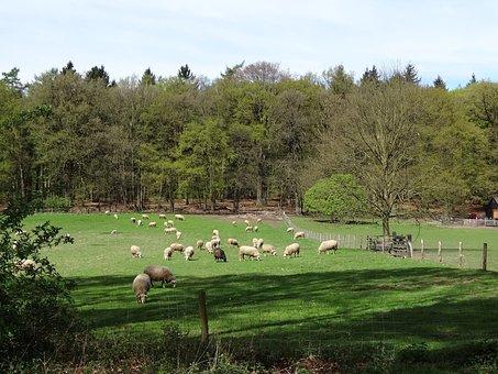 Sheep, Lamb, White Sheep, Nature, Grass, Meadow, Mammal