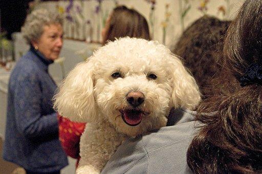Poodle, Dog, White, Holding, Woman