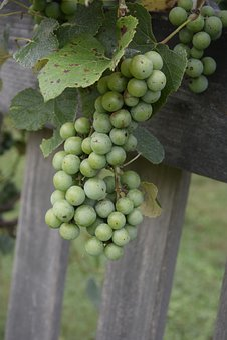 Fruit, Nature, Food, Agriculture, Pasture, Farm, Grapes