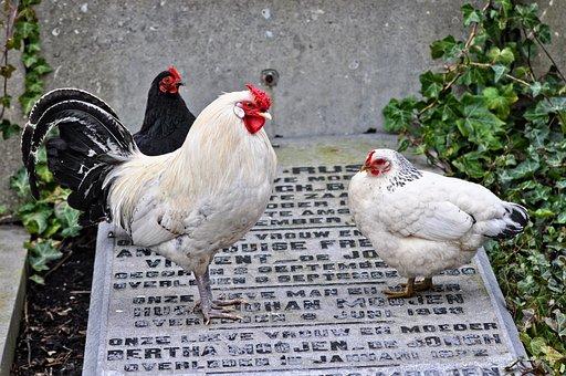 Chicken, Animal, Bird, Fowl, Rooster, Hen