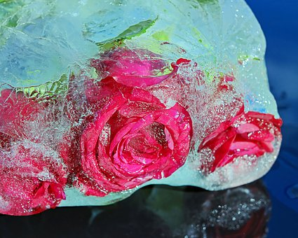 Roses, Noble Roses, Bloom, Bright, Ice, Rose Flower