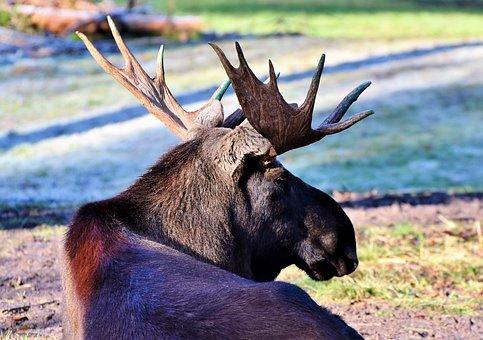 Moose, Bull Moose, Antler, Bull, Head, Wild Animal