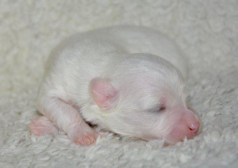 Puppy, New Born, Dog Coton Tulear, Cute, Mammal