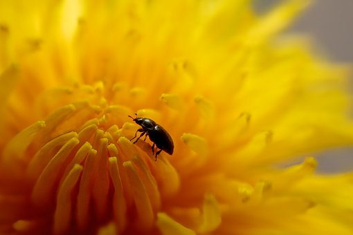 Nature, Flower, Dandelion Flower, Beetle, Summer, Plant