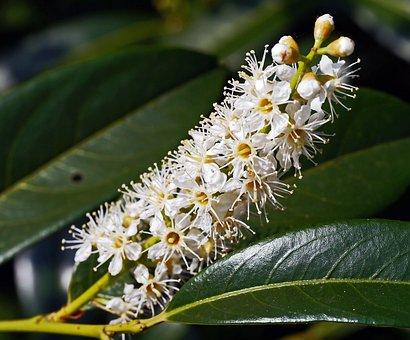 Cherry Laurel, Inflorescence, Flower Grape, Nature