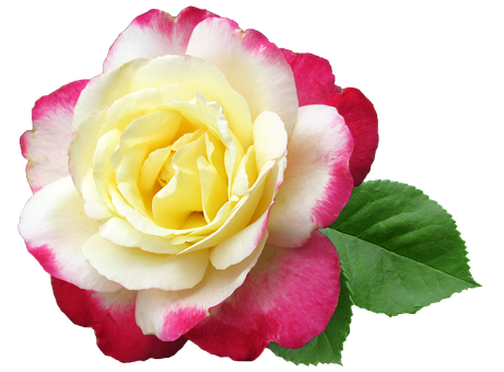 Flower, Rose, Double Delight, Perfumed, Cut Out