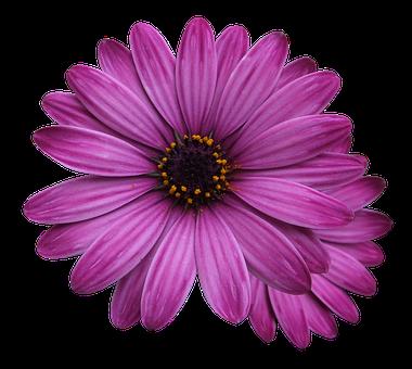 Flower Marigolds, Purple Flower, Flowers Png