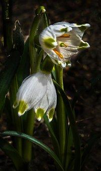 Fruehlingsknotenblume, Snowflake, Spring Flower