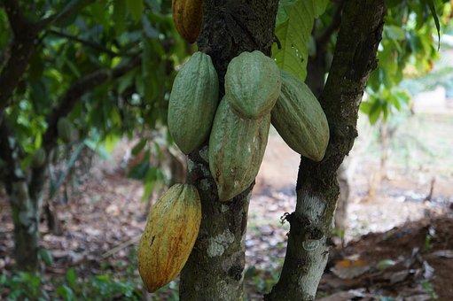 Food, Leaf, Tree, Nature, Flora, Ghana, Cocoa, Cacao