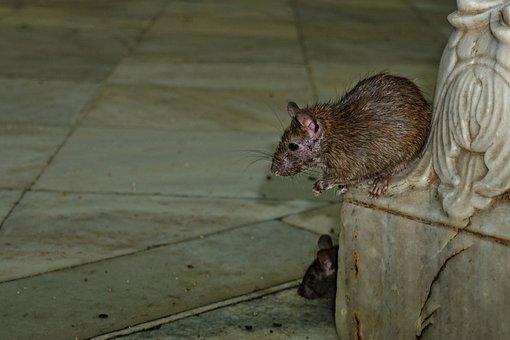 Karni-mata-temple, Rat, Nature, Animal, Mammal