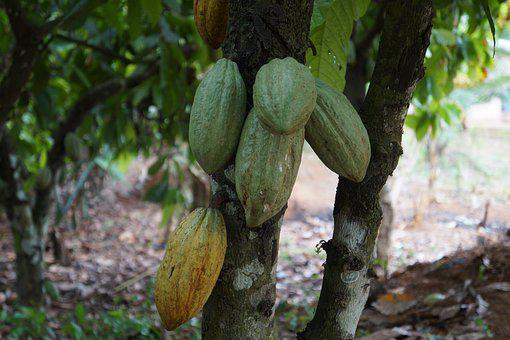 Food, Leaf, Tree, Nature, Flora, Ghana, Cocoa, Cacao