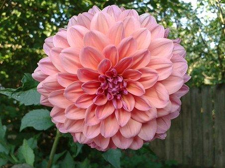 Dahlia, Flowering Dahlias, Best, Flower, Blooming, Pink
