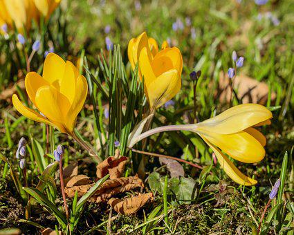 Crocus, Flower, Blossom, Bloom, Yellow, Plant
