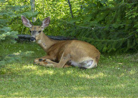 Deer, Animal, Resting, Wild, Nature, Wildlife, Mammal