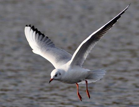 Bird, Wild World, Seagull, Wing, Nature, Flight