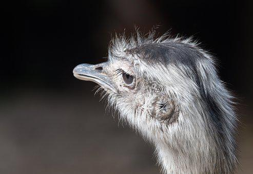 Portrait Of A Greater Rhea, Ostrich, Bird, Animal, Beak