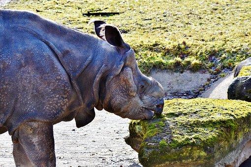Rhino, Horn, Animal, Mammal, Big Game, Zoo